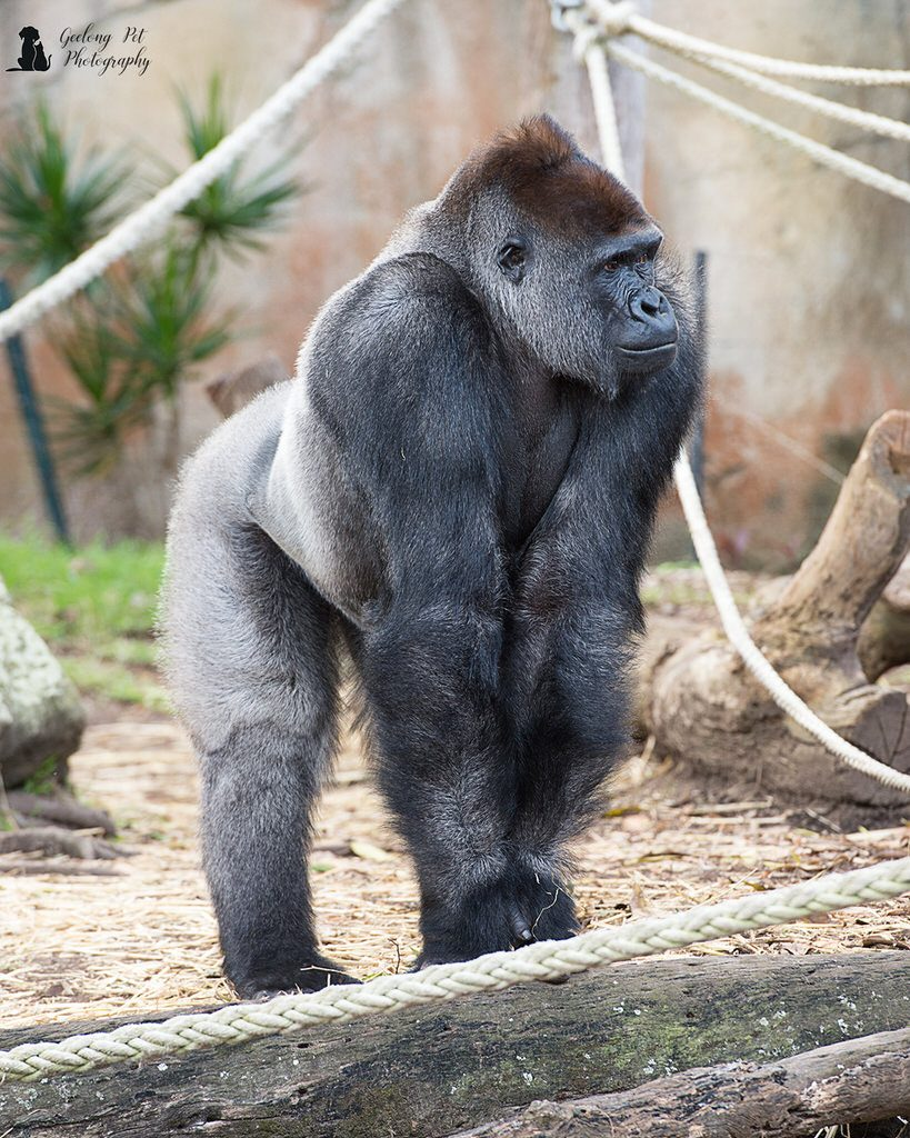 Photo of Western Lowland Gorilla standing on all four feet