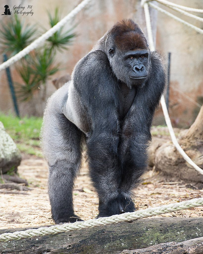 Photo of Western Lowland Gorilla standing on all fours