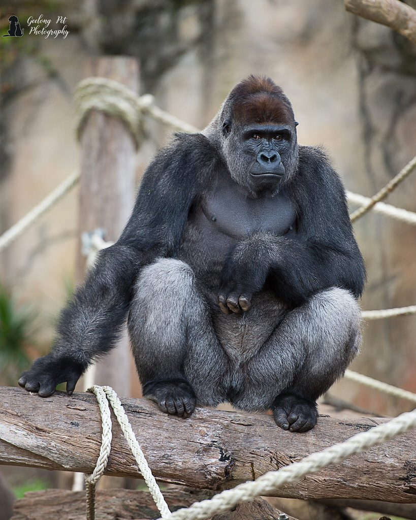 Photo of Western Lowlands Gorilla sitting on a log