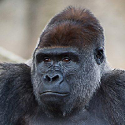 Head & Shoulders photo of Western Lowland Gorilla