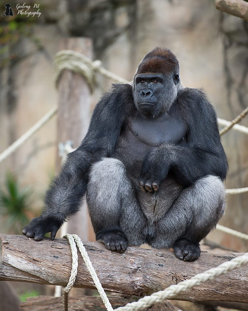 Western Lowland Gorilla sitting on log looking into the distance
