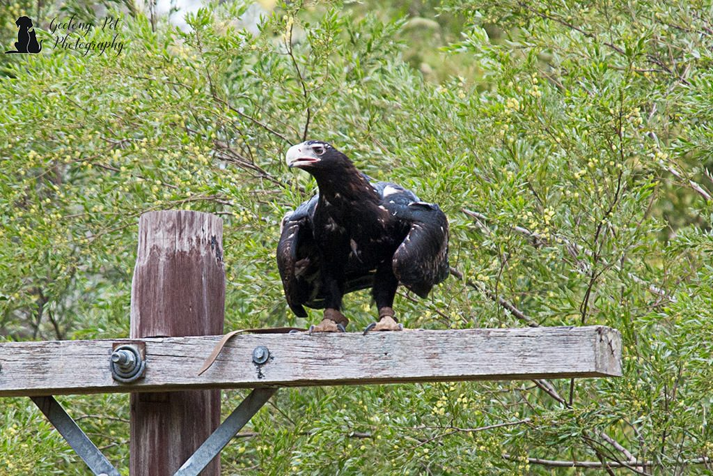 Photo of wedge-tailed eagle perched on post looking for food