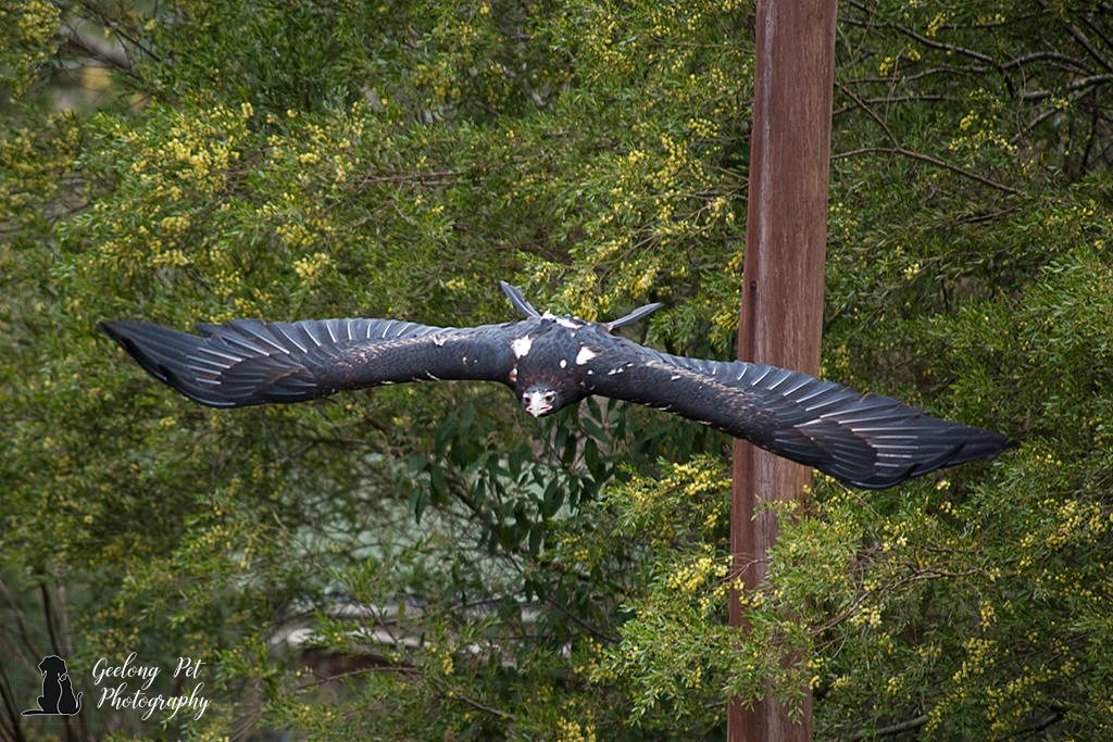 Photo showing wingspan of Wedge-tailed eagle flying towards the camera