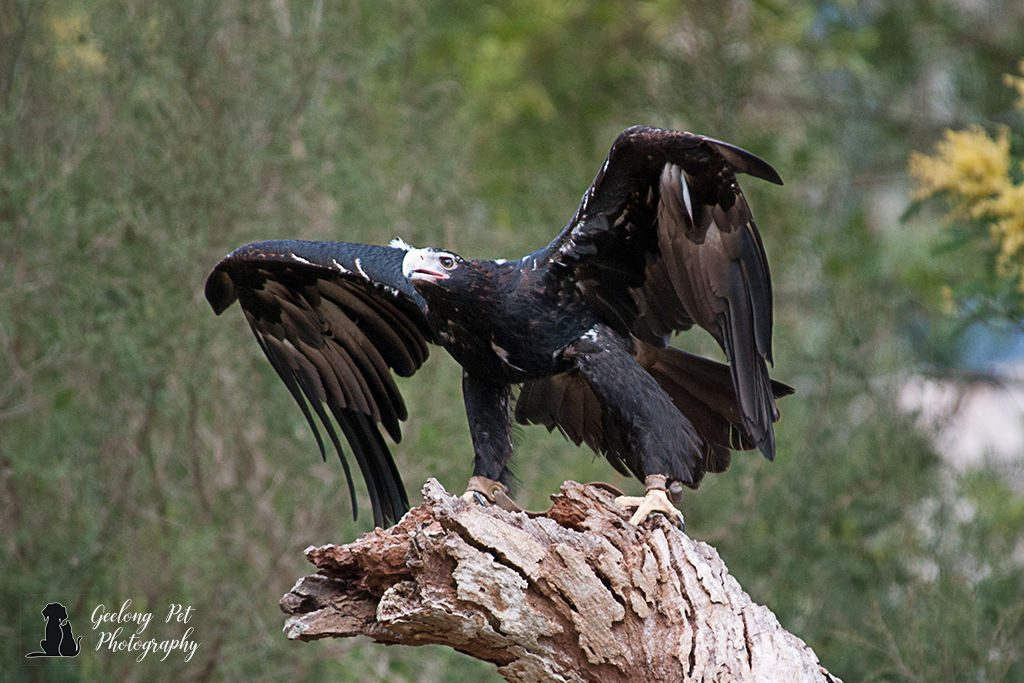 Photo of wedge-tailed eagle about to take off