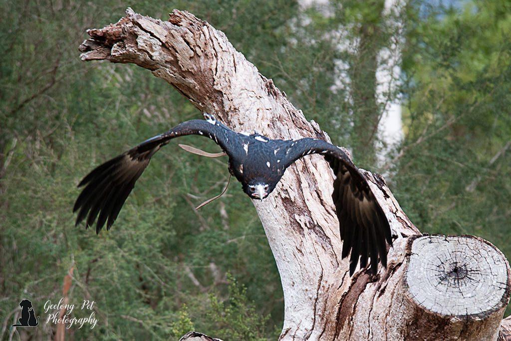 Photo of Wedge-tailed eagle flying towards camera