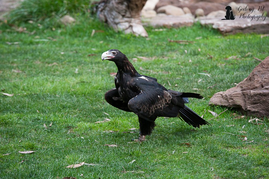 Photo of Wedge tailed eagle on ground looking for food