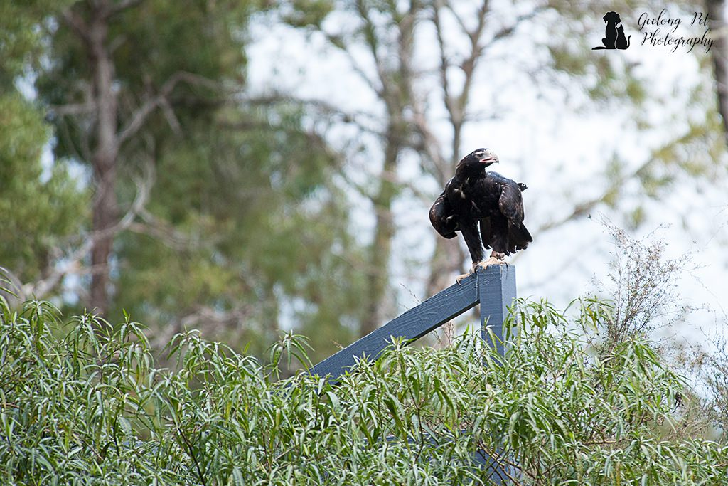 Photo of wedge tailed eagle on post looking for prey