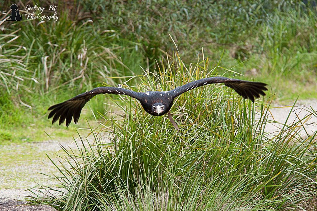 Photo of wedge tailed eagle soaring over grasses