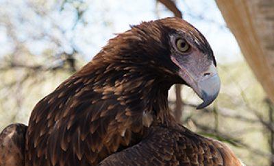 Photo of Wedge-tailed eagle showing beak & plumage