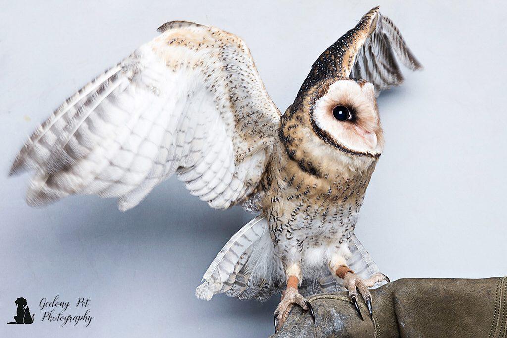 Photo of Tasmanian masked owl