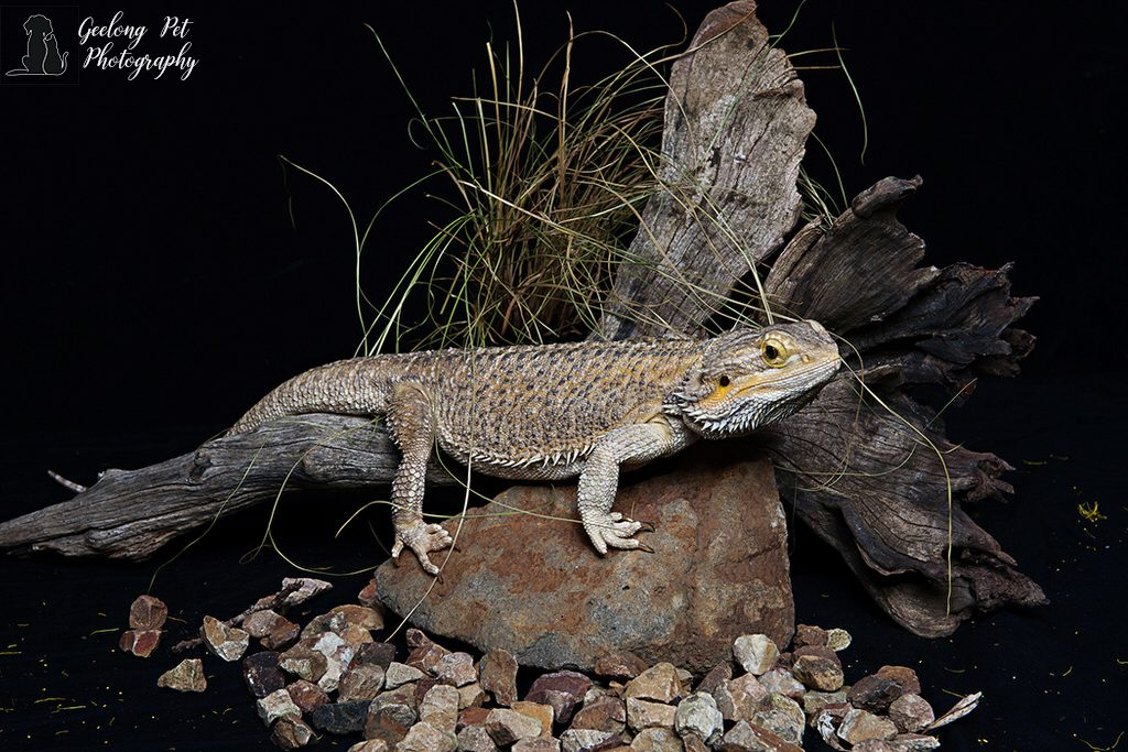 Photo of Central Bearded Dragon