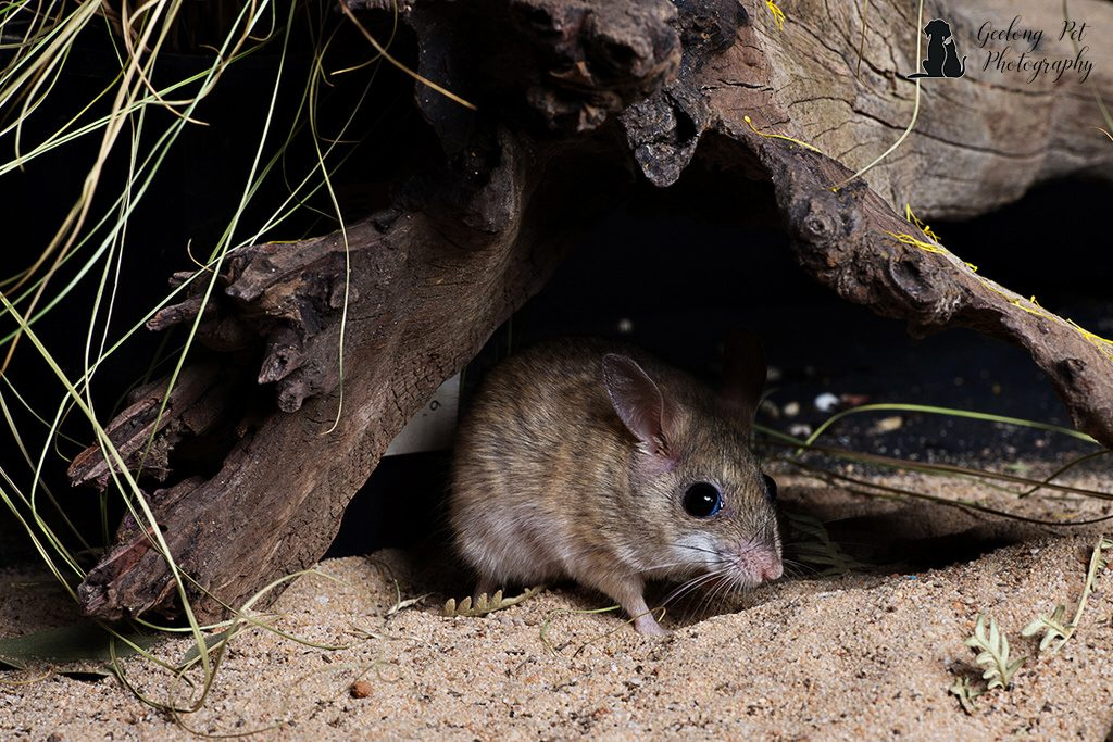 Photo of Spinifex Hopping Mouse