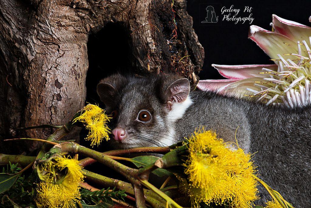 Photo of common ringtail possum