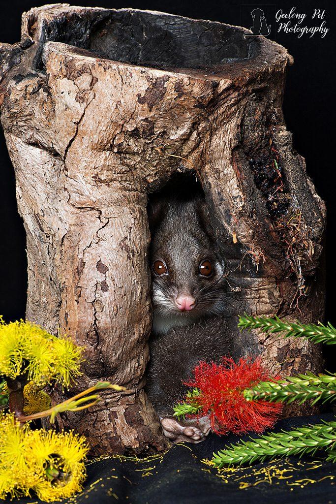 Photo of ring tail possum