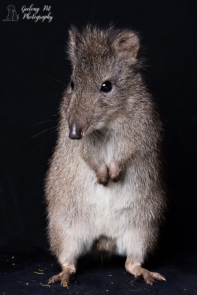 Photo of Long Nosed Potoroo