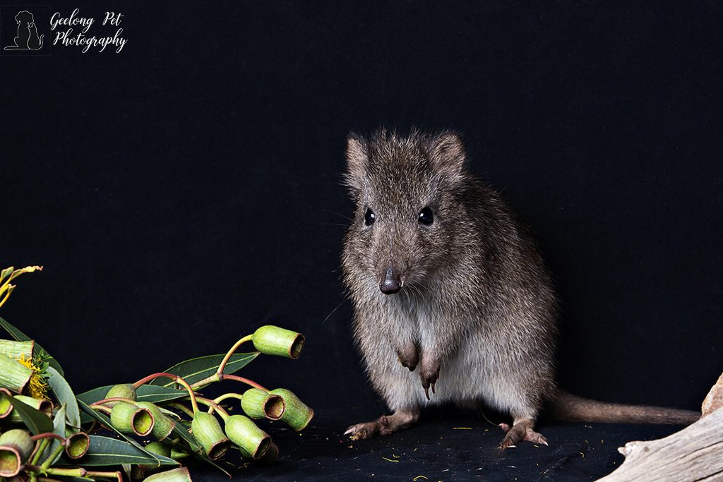 Photo of Long-Nosed Potoroo
