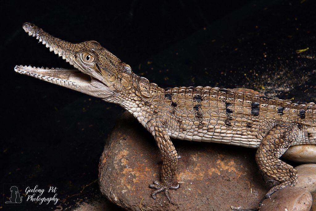 Photo of Freshwater Crocodile