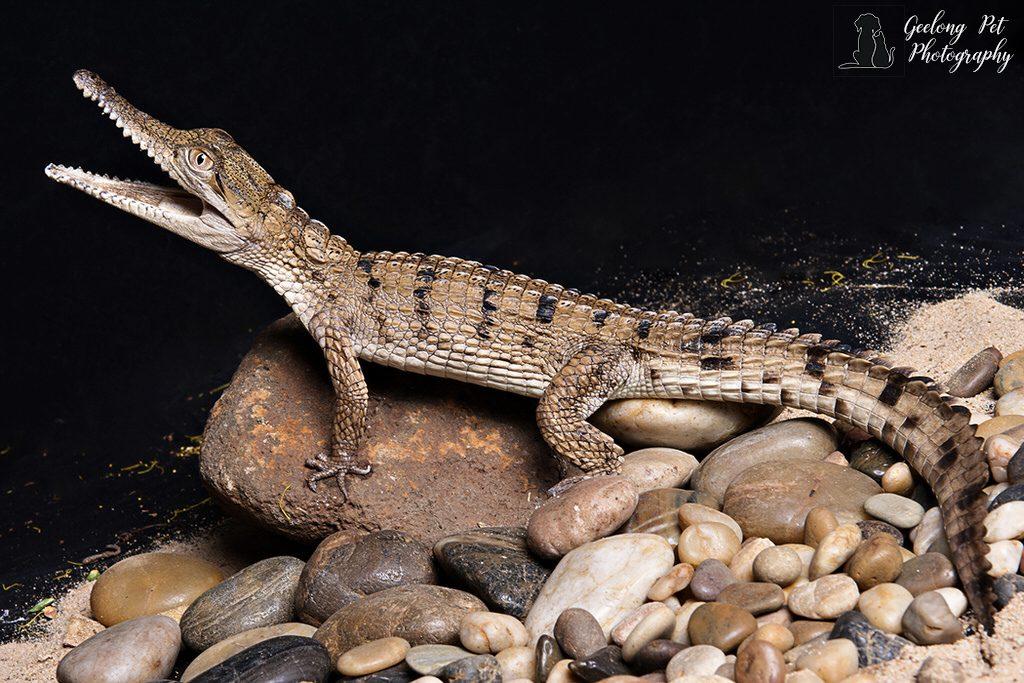 Photo of Freshwater Crocodile sitting on river rocks