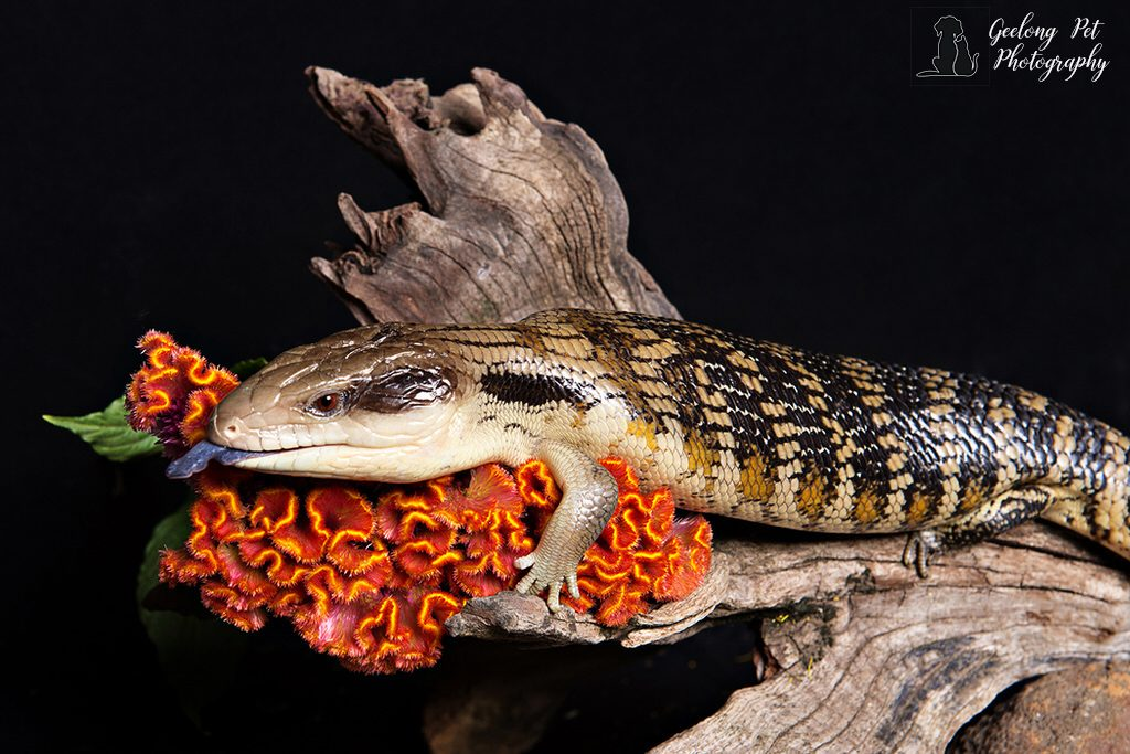Photo of Eastern Blue Tongue Lizard perched on a log
