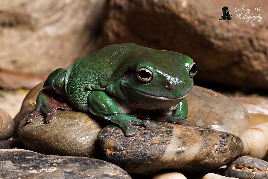 Photo of Green Tree Frog sitting on river rocks