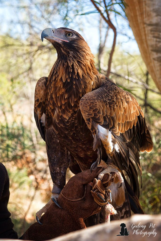 Photo of wedge-tailed eagle showing plumage and claws