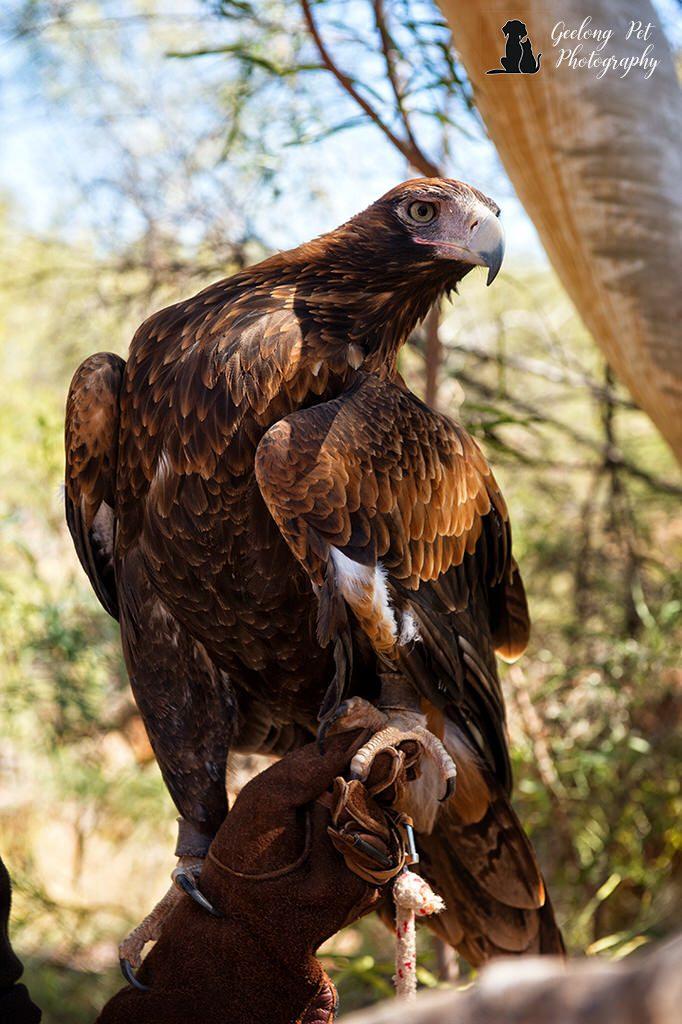 Photo of wedge-tailed eagle showing plumage and beak