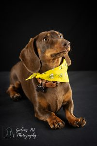 Photo of Dachshund in the drop position