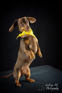 Photo of Dachshund standing on hind legs looking at camera